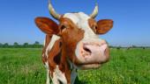 Победителям Bagra the Game выдали живую корову