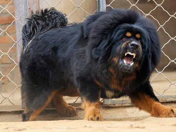 Самые дорогие породы собак в мир